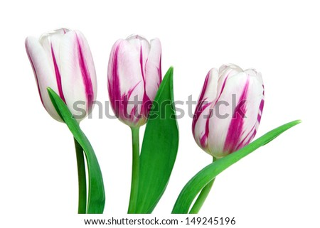 Beautiful tulips on a white background #149245196