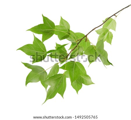 Acer foliage, Green maple leaves, isolated on white background with clipping path                                  #1492505765