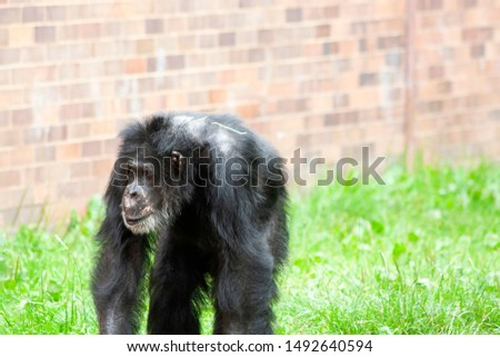 Old ape walking on grass #1492640594