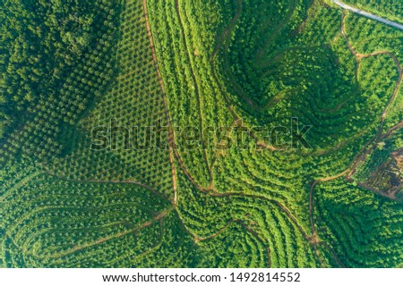 Row of palm tree plantation garden on high mountain in phang nga thailand Aerial view drone high angle view.