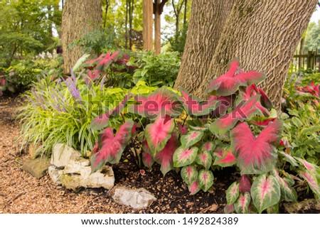large leaf Hosta plant in beautiful garden #1492824389