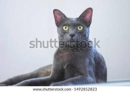 Silver tipped blue adult Korat cat sitting side ways and looking curious at camera with green eyes, isolated on white background