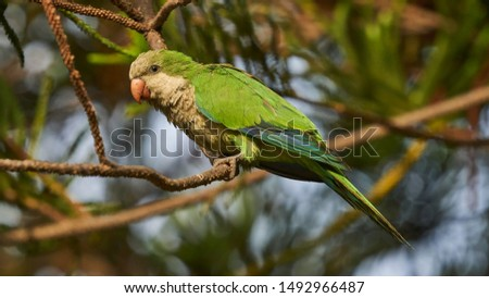 Female Monk Parakeet Perches on a Tree Alameda Apodaca Cadiz Spain #1492966487
