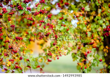 The symbol of the house among red hawthorn berries  #1492993985