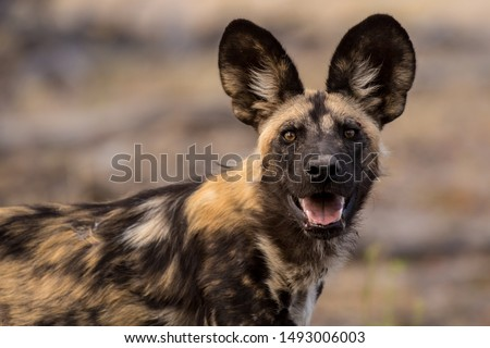 Wild dog portrait from africa #1493006003