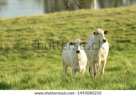 Nelore ox on the farm, Mato Grosso do Sul, Brazil #1493080250