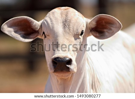 cattle and beef cows from Brazilian farms #1493080277