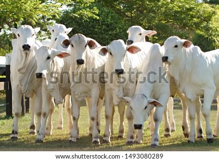 Nellore beef cattle from Brazilian farms #1493080289