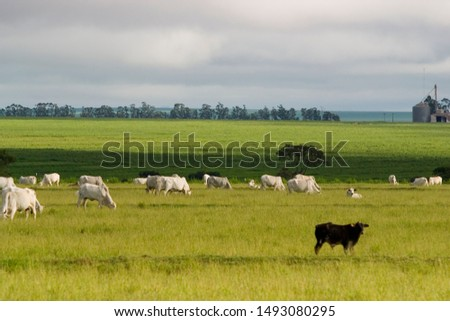 cattle grazing on the farm at dusk, soybean plantation in the background #1493080295