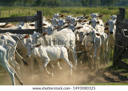 cattle and beef cows from Brazilian farms #1493080325