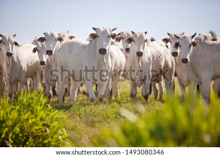 cattle and beef cows from Brazilian farms #1493080346