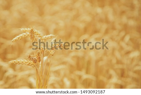 Wheat field on a sunny day. Selective focus. nature. #1493092187