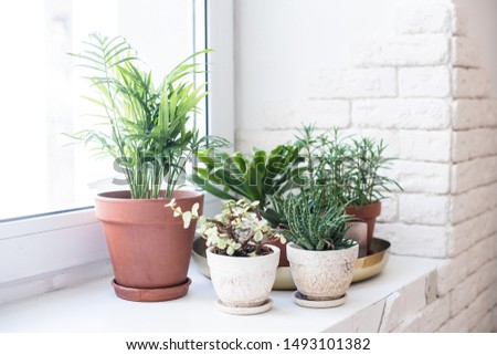 Green home houseplants on windowsill in real room interior, plants and succulents Royalty-Free Stock Photo #1493101382