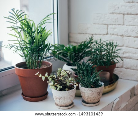 Green home houseplants on windowsill in real room interior, plants and succulents Royalty-Free Stock Photo #1493101439