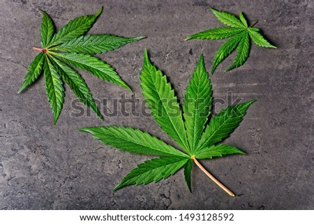Three wet green cannabis leaves full of little drops on dry grey background. #1493128592