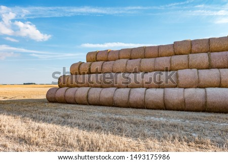 huge straw pile of Hay roll bales on among harvested field. cattle bedding #1493175986