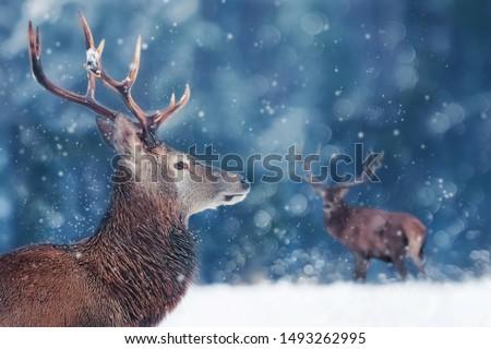 Noble deer male in winter snow forest. Winter christmas image. Winter wonderland. #1493262995