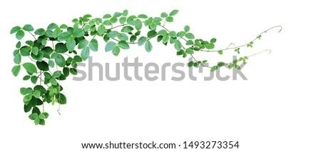 Bush grape or three-leaved wild vine cayratia (Cayratia trifolia) liana ivy plant bush, nature frame jungle border isolated on white background, clipping path included.  #1493273354