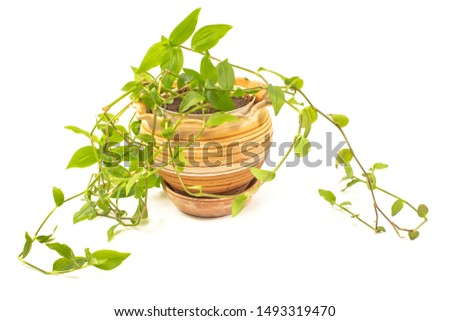 Devil's ivy, Golden pothos, Hunter's-robe or Epipremnum aureum plant in pot isolated on white #1493319470