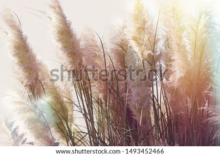 Dry seds of reed - cane, dry reed, dry cane in meadow - beautiful nature in autumn  #1493452466