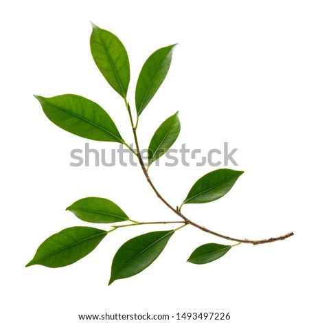 Fresh green leaves branch macro shot isolate on white background Royalty-Free Stock Photo #1493497226
