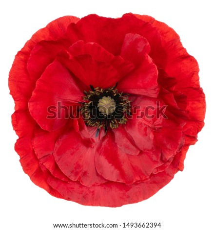 Studio Shot of Red Colored Poppy Flower Isolated on White Background. Large Depth of Field (DOF). Macro. Close-up. #1493662394