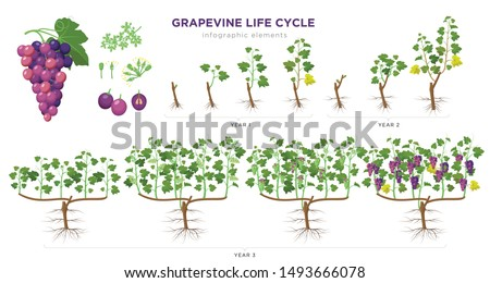 Grapevine growing stages infographic elements in flat design. Planting process of grape 1 - 3 years from seeds,  sprout, bud break, flowering, fruit set, veraison, harvest, ripe grape bunch isolated. #1493666078