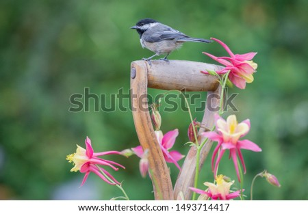 A Black-capped Chickadee lands on the wooden handle of a garden fork.  It used the tool as a staging sot before the feeders.  The photo symbolizes the closeness between chickadees and people. #1493714417
