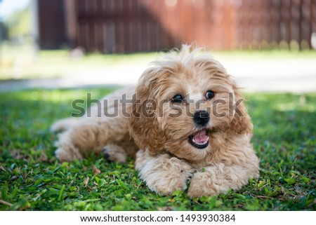 The photo of cavoodle, puppy #1493930384