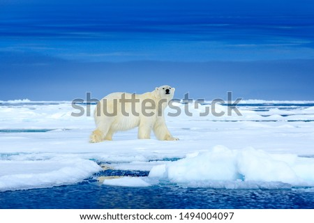 Polar bear on the blue ice. Bear on drifting ice with snow, white animals in nature habitat, Manitoba, Canada. Animals playing in snow, Arctic wildlife. Funny image in nature. #1494004097