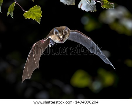 Flying bat hunting in forest. The Greater horseshoe bat (Rhinolophus ferrumequinum) occurs in Europe, Northern Africa, Central Asia and Eastern Asia. It is the largest of the horseshoe bats in Europe Royalty-Free Stock Photo #1494098204
