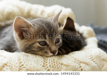 Brown striped kitty and gray kitty sleeps on knitted woolen beige plaid. Little cute fluffy cat. Cozy home #1494145331