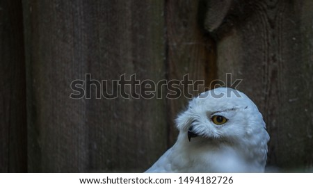 The snowy owl (Latin: Bubo scandiacus) is a large, white owl of the true owl family. Bird like Hedwig from Harry Potter series. Estonia, North Europe.