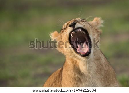closeup of a Lion cub yawning, Masai Mara #1494212834