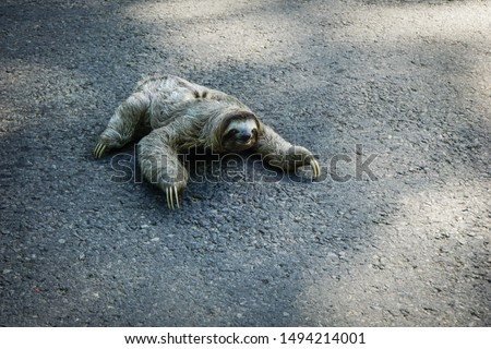 Cute Sloth crossing the street in Costa Rica