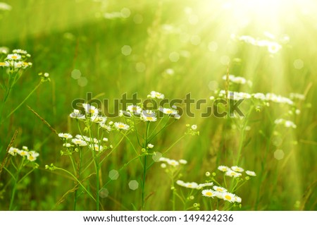 Wild camomile flowers growing on green meadow, macro image with sunlight #149424236