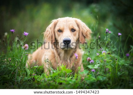 Dog breed Golden Retriever in the grass. #1494347423