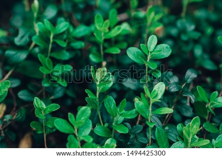 Lingonberry leaves. Beautiful background with green leaves of lingonberry. Lingonberries forest. Cowberry leaves #1494425300