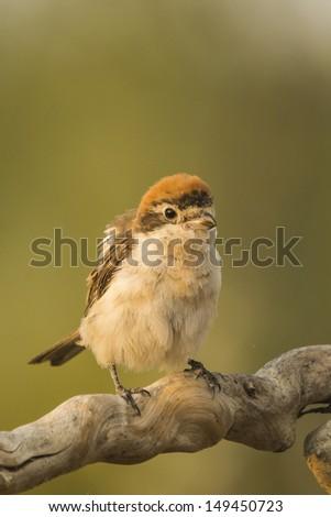 Woodchat Shrike (Lanius senator) i #149450723
