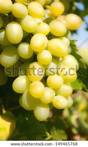 The branch of ripe green grape #149465768