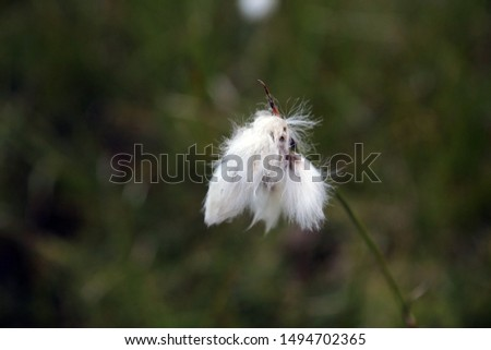 White fluffy flower in the mountains on a blurred background #1494702365