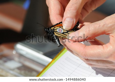 Scarborough, Ontario, Canada, September 2, 2019: A Monarch butterfly is caught and tagged by a citizen scientist on behalf of Monarch Watch in Scarborough, Ontario, Canada.   #1494886040