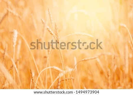 Wheat field closeup ripe in gold color, natural background. Harvest concept. #1494973904