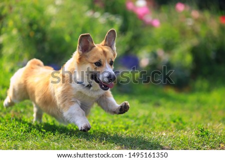 funny puppy dog red Corgi fun runs on green meadow sticking out language and raising paws #1495161350