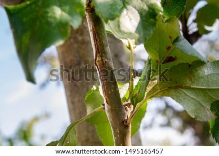 Kidney after inoculation of Apple. Budding buds. #1495165457