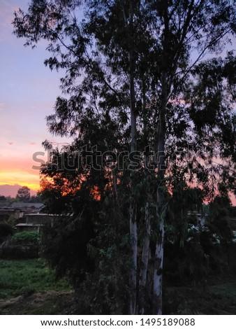 Eucalyptus tree during the sunset  #1495189088