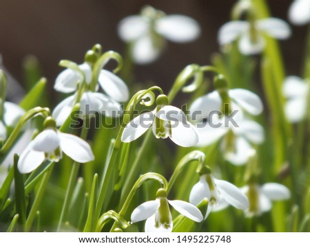 Beautiful snowdrop flower among the snow. Snowdrop forest. Magnificent view of snowdrop formation. A forest covered with snowdrops #1495225748