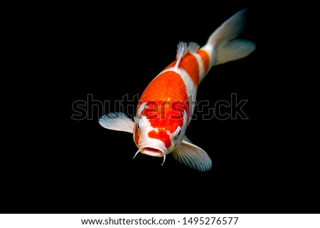 Fancy carp swimming in a pond. Fancy Carps Fish or Koi Swim in Pond, Movement of Swimming and Space.  #1495276577