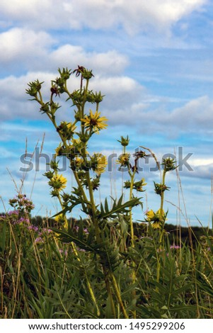 Compass Plant towers above Wild Bergamot and other grasses in the prairie at Gurnee Woods Forest Preserve in Lake County, Illinois #1495299206