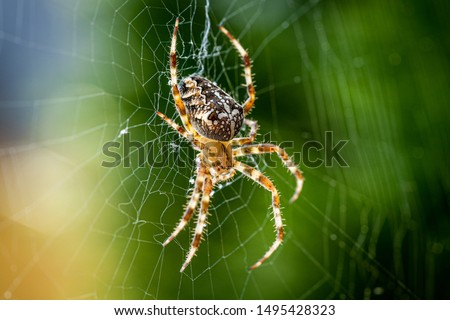 Close up macro shot of a European garden spider (cross spider, Araneus diadematus) sitting in a spider web #1495428323